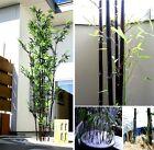 Winterharter Schwarzer Bambus: Läßt sich im Topf zum tollen Bonsai ziehen/ Samen