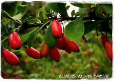 Berberis vulgaris 'European Barberry' 35+ Seeds