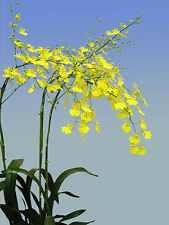 QOB Orchid Plant Yellow Oncidium Lemon Heart Mature - papular in Japan 90mm pot