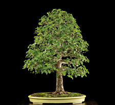 ULMUS MINOR, OLMO CAMPESTRE, 25 SEMI, SEMI BONSAI, SEEDS