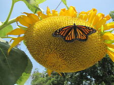 Sunflower - Mammoth Grey Striped - Heirloom - 20 Seeds -  Great Survival Seed