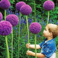 10Pcs Garden Perennials Plant Seeds Purple Allium Giganteum Seeds Giant Flower