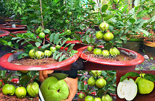 "SEEDS – Extremely Huge Giant Guava, Dwarf ""Kilo Guava"" Shrub, Tree 1000 grams!"