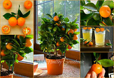 SEEDS – Indoor Fragrant Ornamental Bonsai Citrus Calamondin - Does well in pots