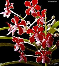 Rare orchid species seedling - vanda limbata