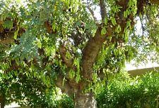 Ceratonia siliqua ( 50 graines /seeds )