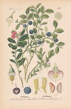 Vaccinium Heidelbeere Preiselbeere THOME Lithographie von 1886 Blaubeere