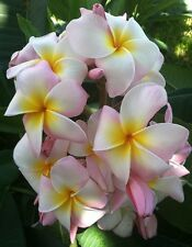"""LARGE ROOTED  PLUMERIA HAWAII  PLANT CUTTING  ~ MAUI BEAUTY  ~ 19"""" with 2 tips"""