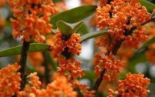 Osmanthus Fragrans Orange 5 Seeds, Very Fragrant Olive, Cold Hardy Sweet Olive