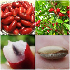 10pcs Rare Miracle Fruit Synsepalum Dulcificum Seeds Tropical Fruit Organic Seed
