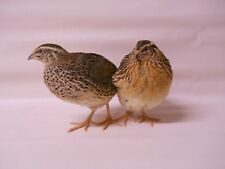 100 + extras  jumbo brown Coturnix Quail Hatching Eggs plus extras