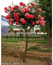 10 Seeds * Red Rose Tree for Balcony, Garden Planting - High Quality