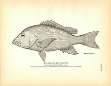 Rare 1884 Antique Fish Print ~ The Florida Red Snapper