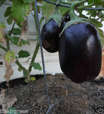 25 Black Beauty Eggplant Seeds, Organic Heirloom Solanum melongena, Egg Plant