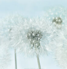 Dandelion I Art Print by Kevin Twomey - 12x12