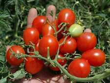 Tomato Riesentraube EXTREMELY  PROLIFIC  DELICIOUS  TOLERATES HEAT AND HUMIDITY