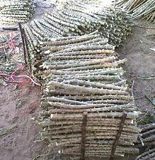 """Cassava trunk Cuttings, Fresh Manihot esculenta tree 3 Cuttings x 12""""++"""