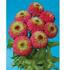 NEW!  25+ GIANT QUEEN RED LIME GREEN  ZINNIA FLOWER SEEDS /ANNUAL