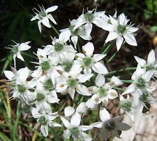 GARLIC CHIVE HERB * 50 SEEDS * OVER-WINTER * GARLIC FLAVOR * CUISINE *