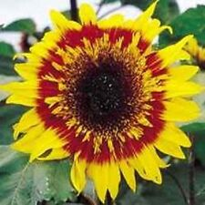 Sunflower Joker 20 Seeds Garden Seeds 2u