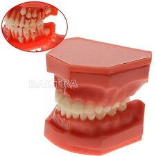 Dental Teeth Permanent Alternate Demonstration Study Teach Tooth Model ZYR-4006