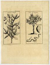 Antique Print-BALLOON VINE-YELLOW OLEANDER-SNAKE-Labat-1724