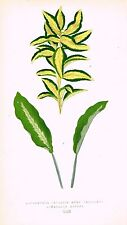 LOWE'S Beautiful Hand-Colored Leaf - EUONYMUS JAPONICA & MARANTA MICANS - 1861