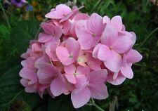 20 Semillas de Hortensia Rosa (Hydrangea Viburnum)