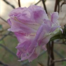 Soft Pink HIGE - Japanese Morning Glory Seeds - Feathered