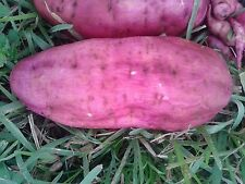 **NEW VARIETY** PINK TITTY sweet potato, HIGH YIELDING, AND DELICIOUS. 10 SLIPS