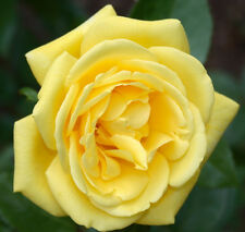 100 Yellow Rare Rose Seeds Fresh Rose Seed For Lover