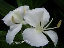 Hedychium coronarium or White Butterfly Ginger 10 seeds