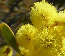 Golden Wattle Seeds Australia's National Emblem Small Tree