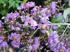 8 Semillas - LAGERSTROEMIA THORELII - Embrujo de la India