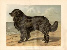 Stampa antica cani TERRANOVA NEWFOUNDLAND 1879 Old print dogs