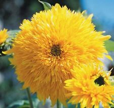 Sun Flower Tall Teddy Bear Sungold  50 seeds * Eye catching* Cut Flower * CombSH