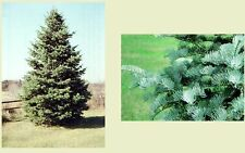 White Fir, abies concolor.   100 seeds.    trees, seeds