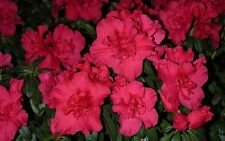 "AZALEA - PRIZE PINK -  RED  - 6 PLANTS - 2"" POT - RHODODENDRON ZONE 8 - 10"