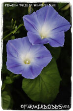Ipomoea tricolor 'Heavenly Blue Clarks Early' 100+ seeds