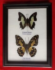 2 REAL BUTTERFLIES COMMON NAWAB LIME BUTTERFLY TAXIDERMY INSECT PICTURE FRAME