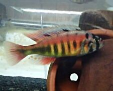 Four fish colony, Species 35 Tomato Victorian Haplochromide approximately 2 inch