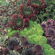 Succulent seeds - sempervivum species mix - Pack of 10 seeds