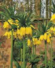 "3 X ""FRITILLARIA LUTEA"" CROWN IMPERIAL. LATE SPRING BULBS SIZE 20/+ EARLY ORDER"