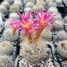 NEOPORTERIA NIDUS SENILIS CACTUS CACTI SUCCULENT REAL LIVE PLANT