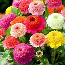 Zinnia- Elegans- Scabiosa Flowered Mix- 100 seeds