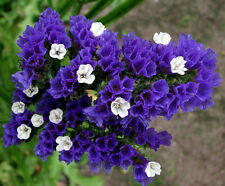 STATICE BLUE - dry flower  SEA LAVENDER - Limonium sinuatum - 100 seeds