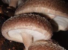Shiitake Imperium Lentinula edodes@mycelium mushroom on dried seeds 10g