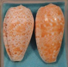 Conus Bullatus 2 Shells 58+61mm Ponape,Caroline Islands