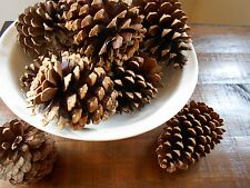 "10 Real Pine Tree Pine Cones for Crafts, Rustic Weddings, Large Pinecones 4""Long"