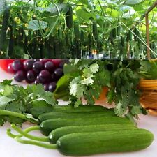 100pcs big cucumber seeds rare delicious cucumber fruit vegetable seeds for home
